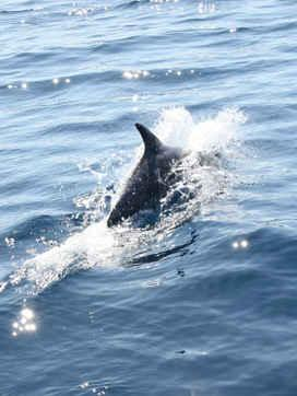 Dolphin jump - between Cres island and Plavnik, Croatia